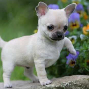 Chihuahua Puppy Cost