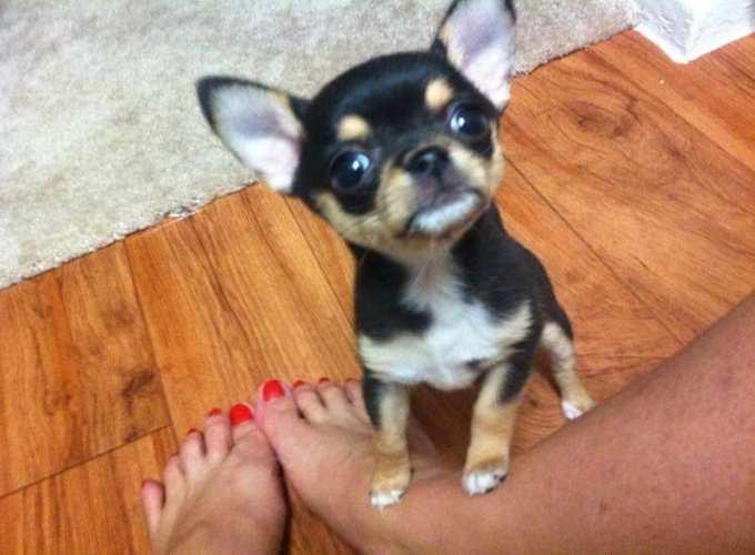 Chihuahua Puppy Dallas