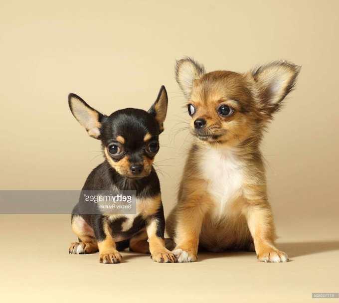 Chihuahua Puppy Info