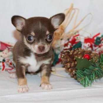 Chihuahua Puppy Michigan