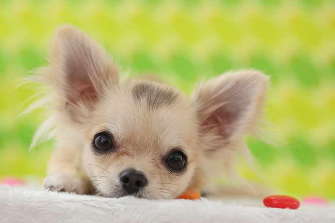 Chihuahua Puppy Photos