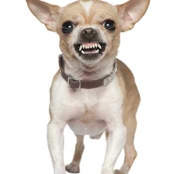 Chihuahua Puppy Teeth
