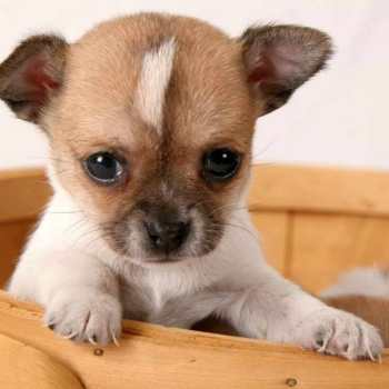 Chihuahua Puppy Videos