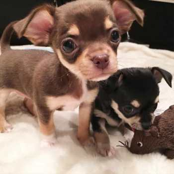 Chihuahua Puppys For Sale