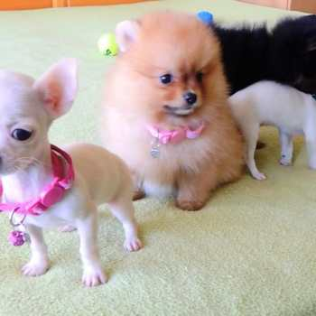 Chihuahua Puupies For Sale