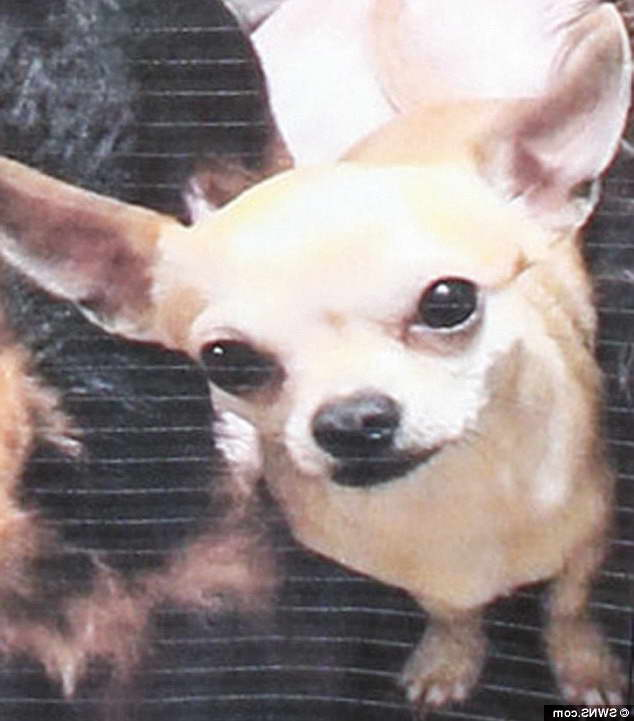 Chihuahua Rehoming