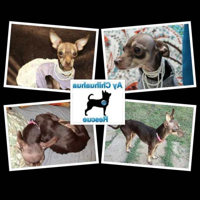 Chihuahua Rescue Austin