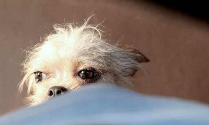 Chihuahua Rescue Centers