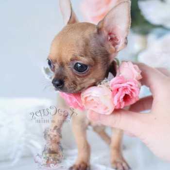 Chihuahua Rescue Florida