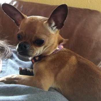 Chihuahua Rescue In Pa