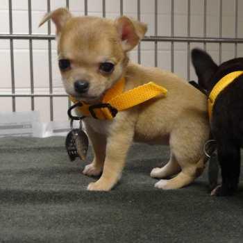 Chihuahua Rescue Missouri