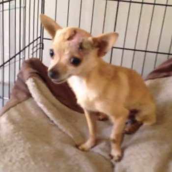 Chihuahua Rescue Nc