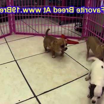 Chihuahua Rescue Nebraska