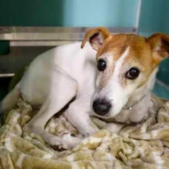 Chihuahua Rescue Nyc