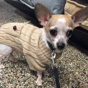 Chihuahua Rescue Rochester Ny