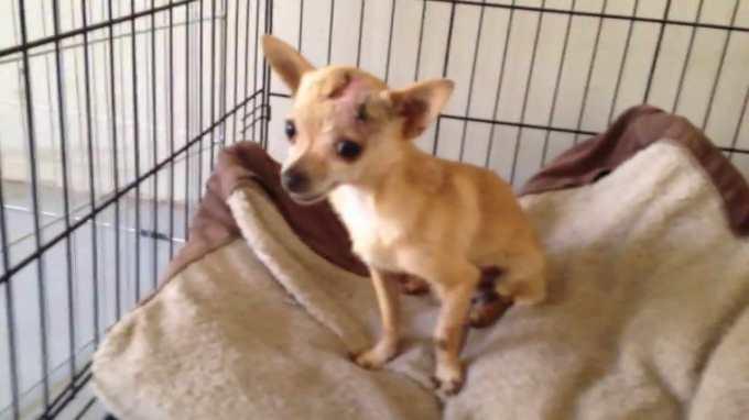 Chihuahua Rescue San Francisco