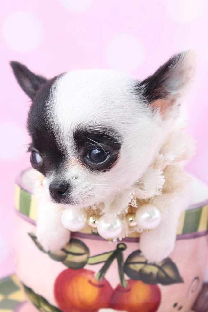 Chihuahua Rescue South Florida