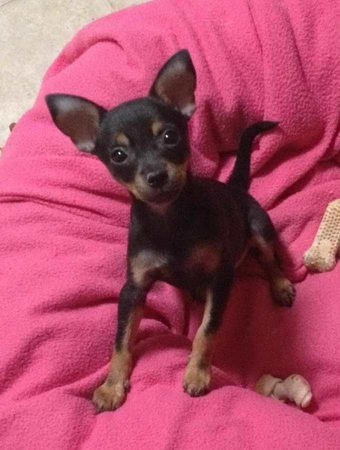 Chihuahua Rescue Tucson