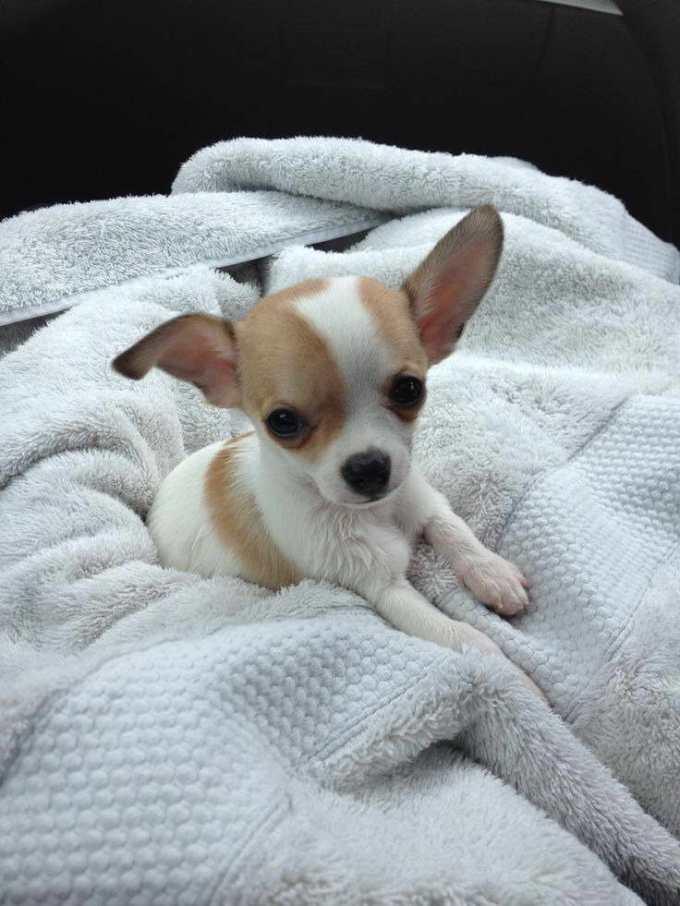 Chihuahua Rescue Wa