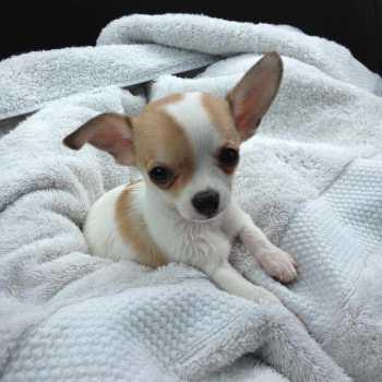 Chihuahua Rescue Washington