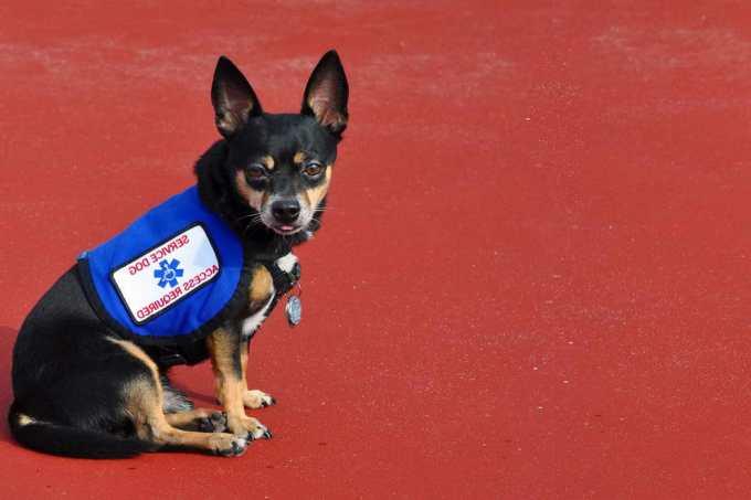 Chihuahua Service Dog