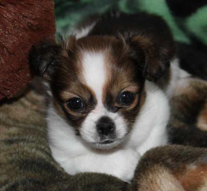 Chihuahua Shih Tzu Mix Puppies For Sale