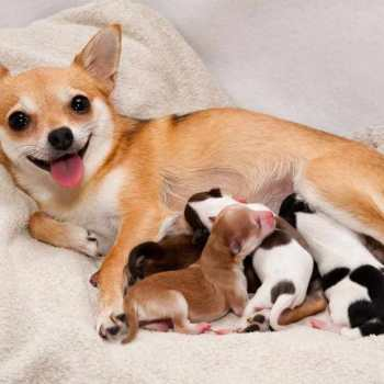 Chihuahua Signs Of Labor