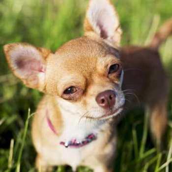 Chihuahua Teacup Dog
