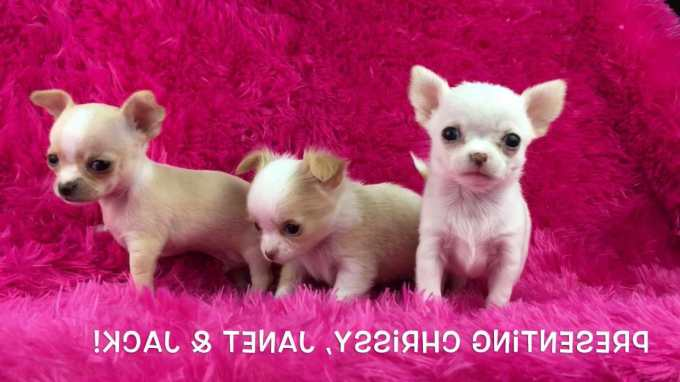 Chihuahua Teacup For Sale In Los Angeles