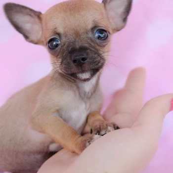 Chihuahua Teacup Puppy For Sale