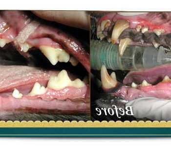 Chihuahua Teeth Cleaning Cost