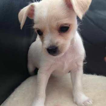 Chihuahua Terrier Mix Adoption