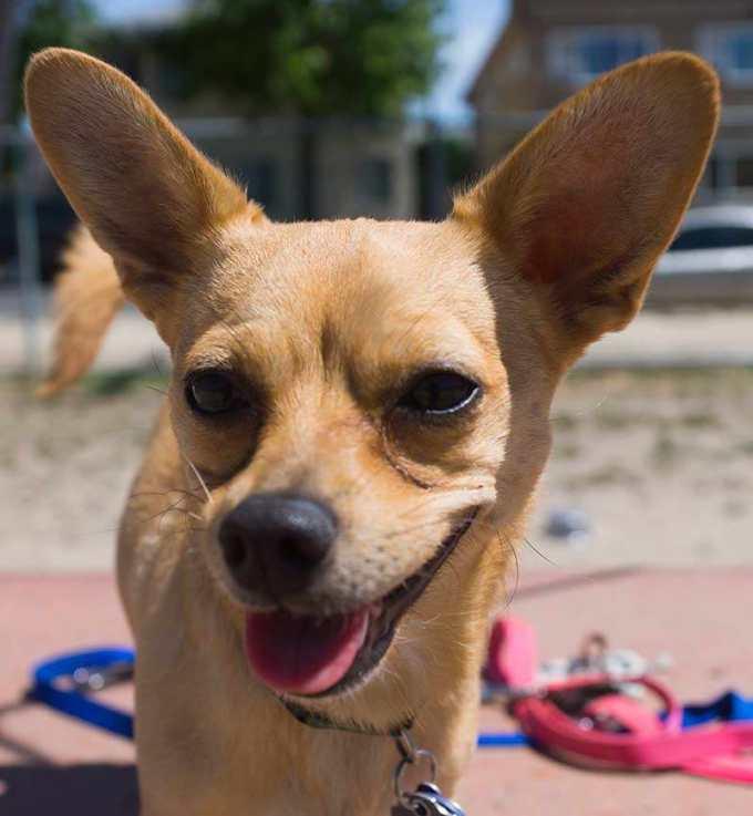 Chihuahua Terriers