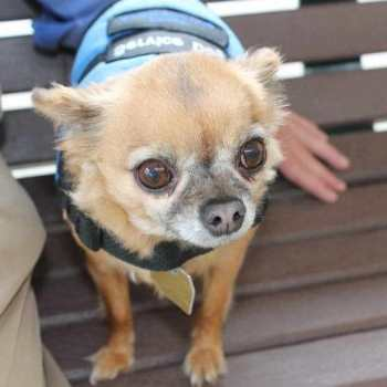 Chihuahua Therapy Dogs