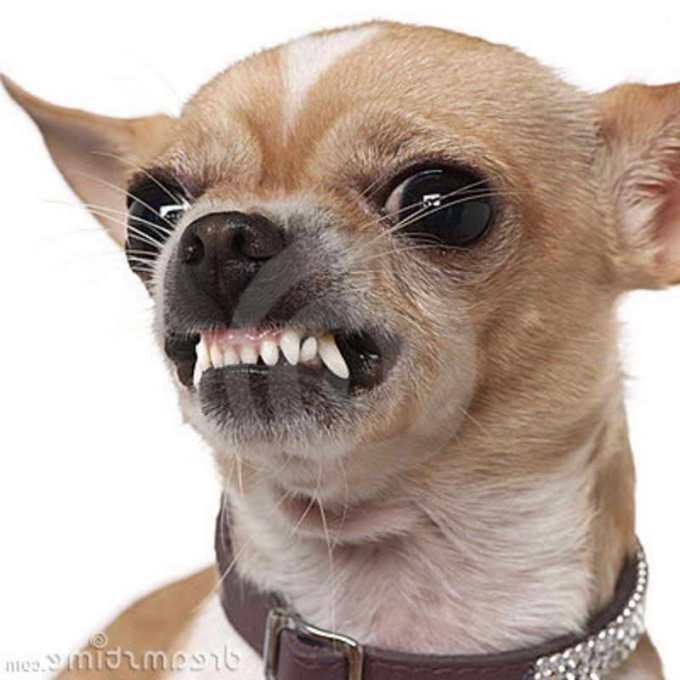 Chihuahua Towing