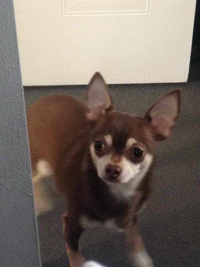 Chihuahua Transmission