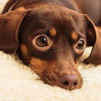 Chihuahua Weiner Dog Mix