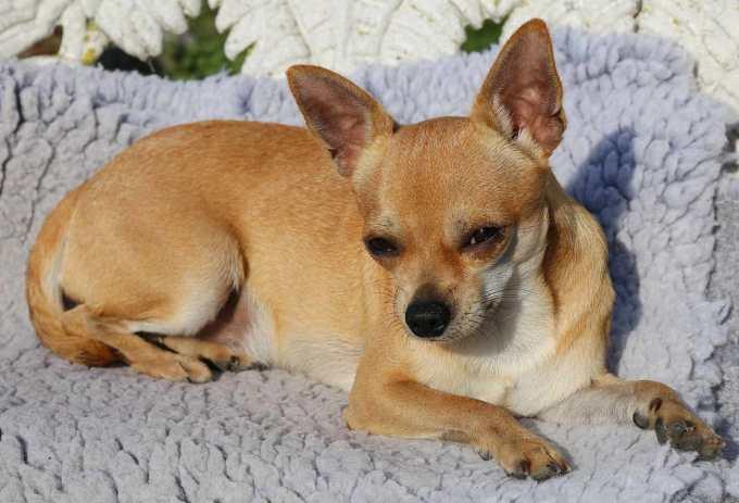 Chihuahua Wheezing