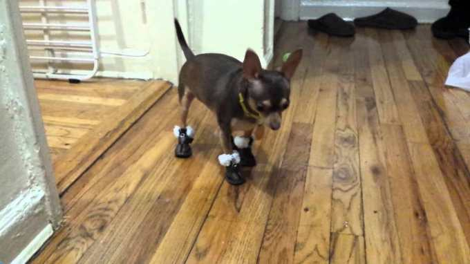 Chihuahua Winter Boots