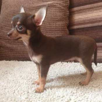 Chocolate And Tan Chihuahua