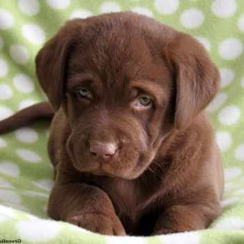 Chocolate Brown Labrador Puppy For Sale