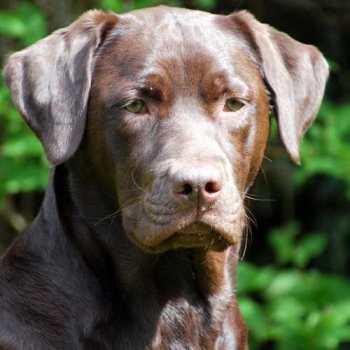 Chocolate Labrador Pics