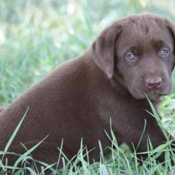 Chocolate Labrador Puppies Arkansas
