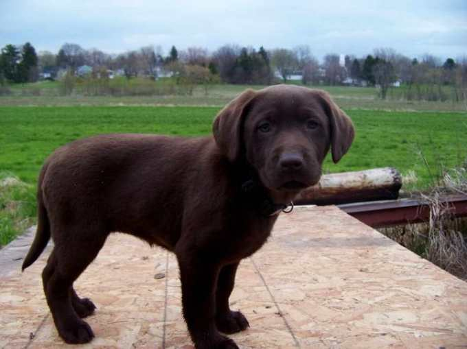 Chocolate Labrador Puppies For Sale In Michigan