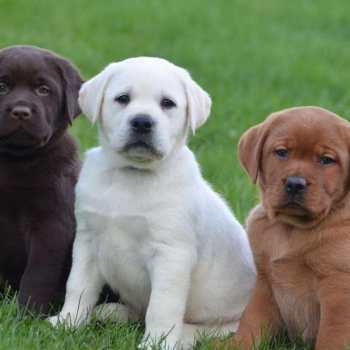 Chocolate Labrador Puppies For Sale In Nj