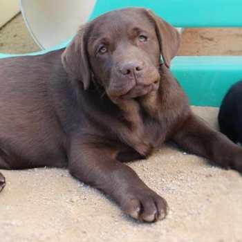 Chocolate Labrador Puppies For Sale In Sacramento