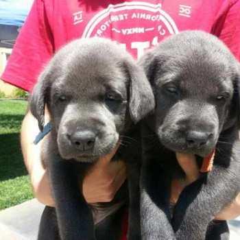 Chocolate Labrador Puppies Los Angeles