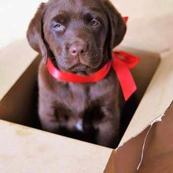 Chocolate Labrador Retriever Gifts