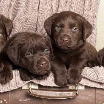 Chocolate Labrador Retrievers