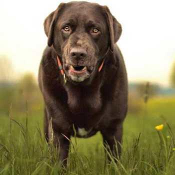 Chocolate Labrador Weight